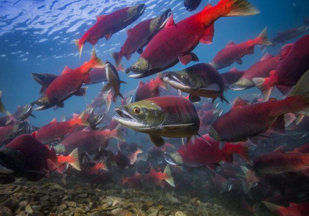 Migrating salmon