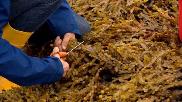 Kelp harvesting