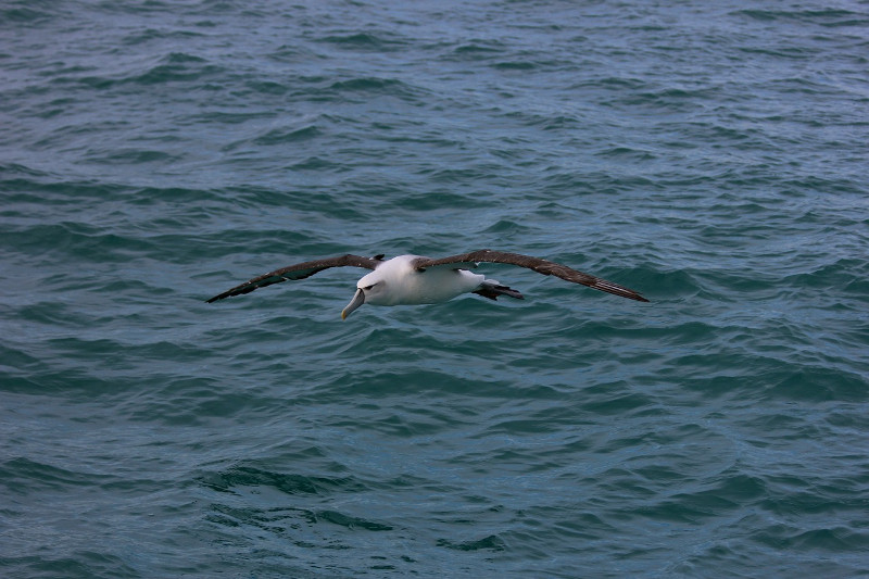 Tagged Albatrosses