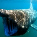 basking shark ocean MPAs