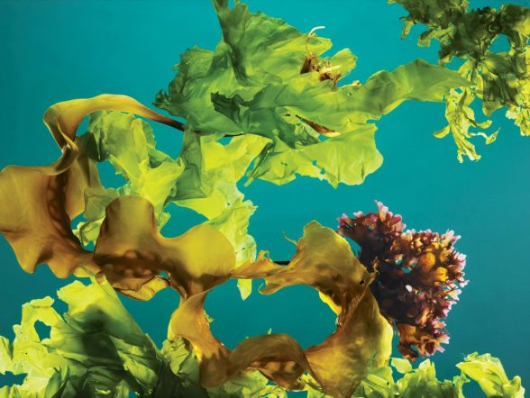 Seagrass Seaweed Kelp