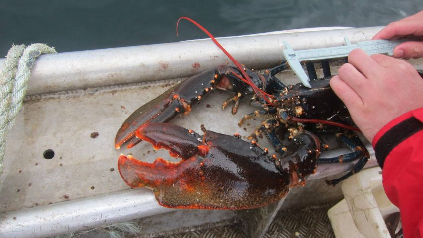 Lobster measure