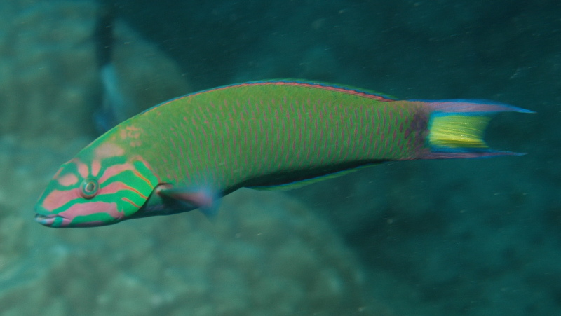 wrasse cleaner fish
