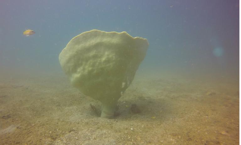 Cambodia sponge seahorse
