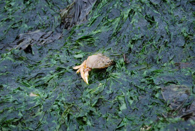 Seagrass crab