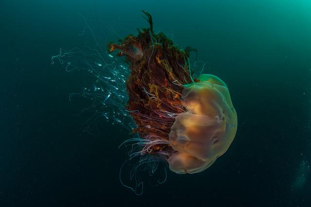 Surveys, SNH, jellyish, St Kilda