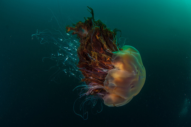 St Kilda Jellyfish SNH