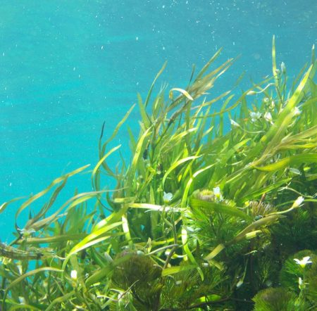 Seagrass meadows eelgrass zostera