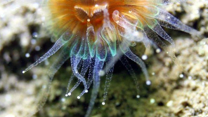 anemone zoom (c) COAST (4)