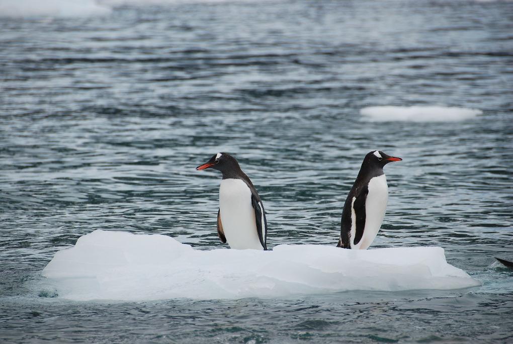 Krill antarctic