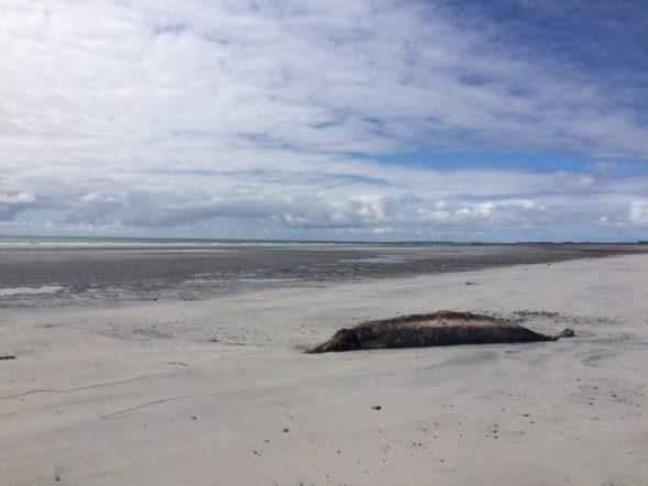 beaked whale stranding