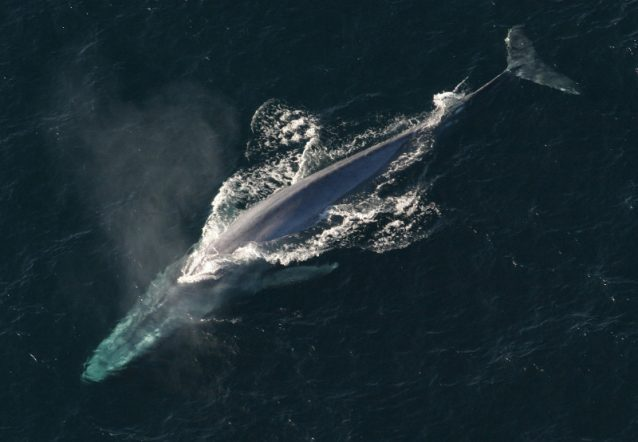 Blue whale Iceland Whaling