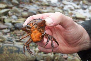 crab (c) COAST