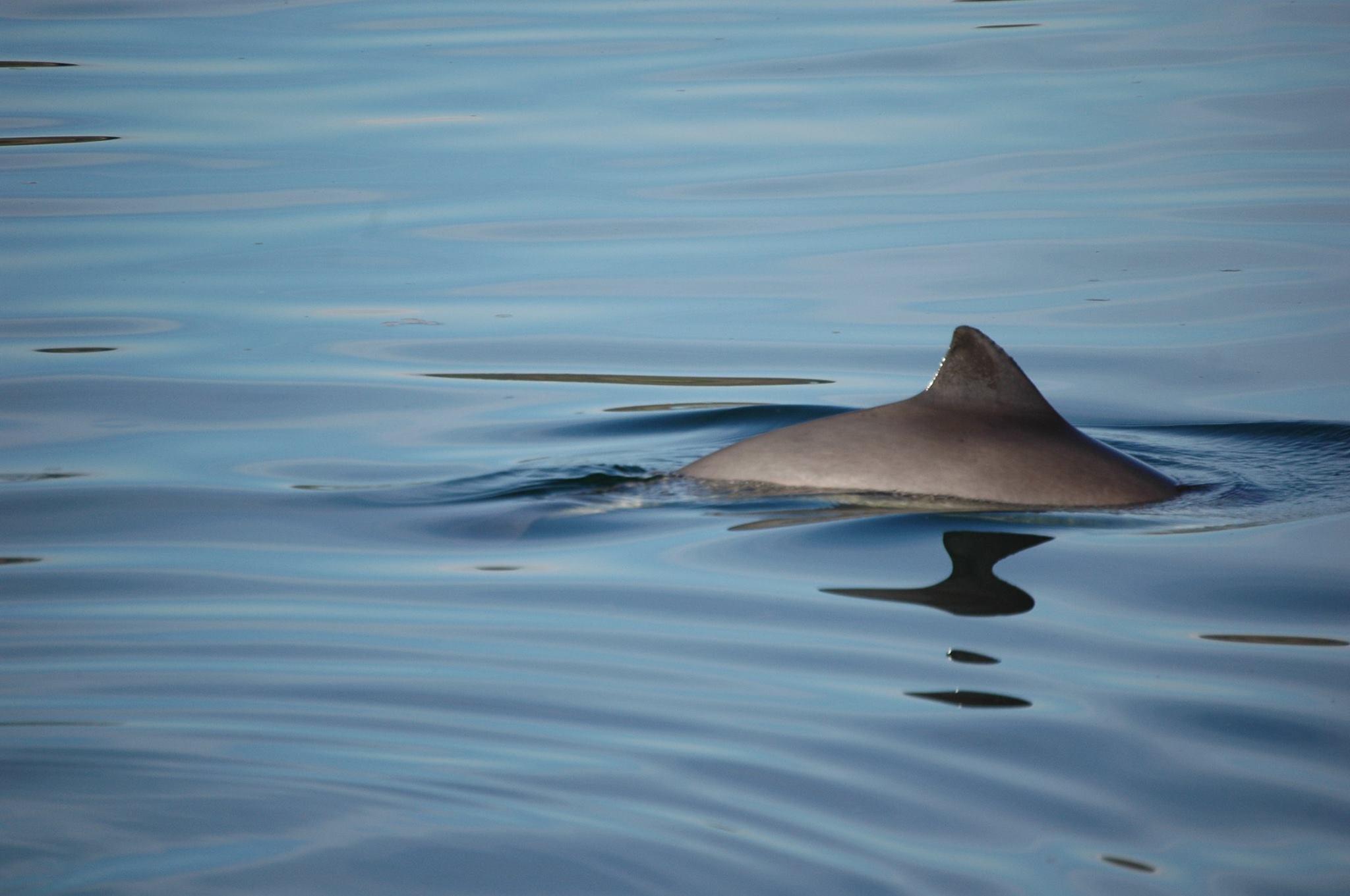 Porpoises Flee from Noise Pollution - Coastal Communities ...