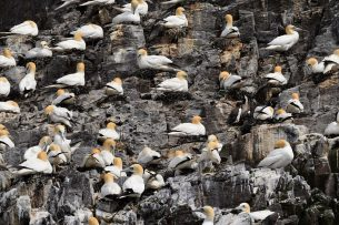 gannets-Pixabay_Optimised