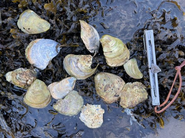 Lochaline Native Oyster Project