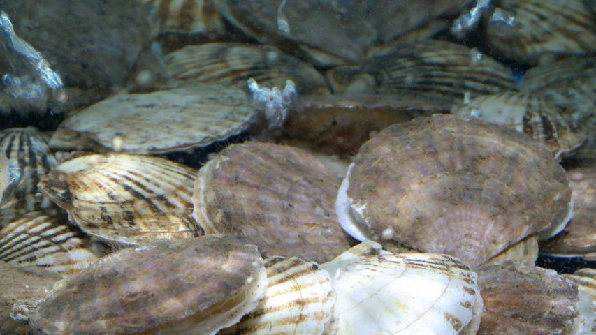 Scallop scallops dredging