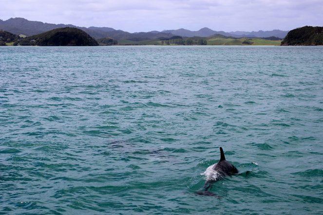 Dolphin, recovery, sea, ocean