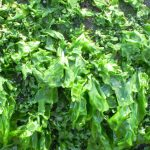 Seaweed, habitats, farming, big seaweed search
