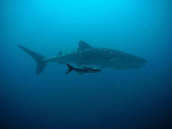 whale shark high seas